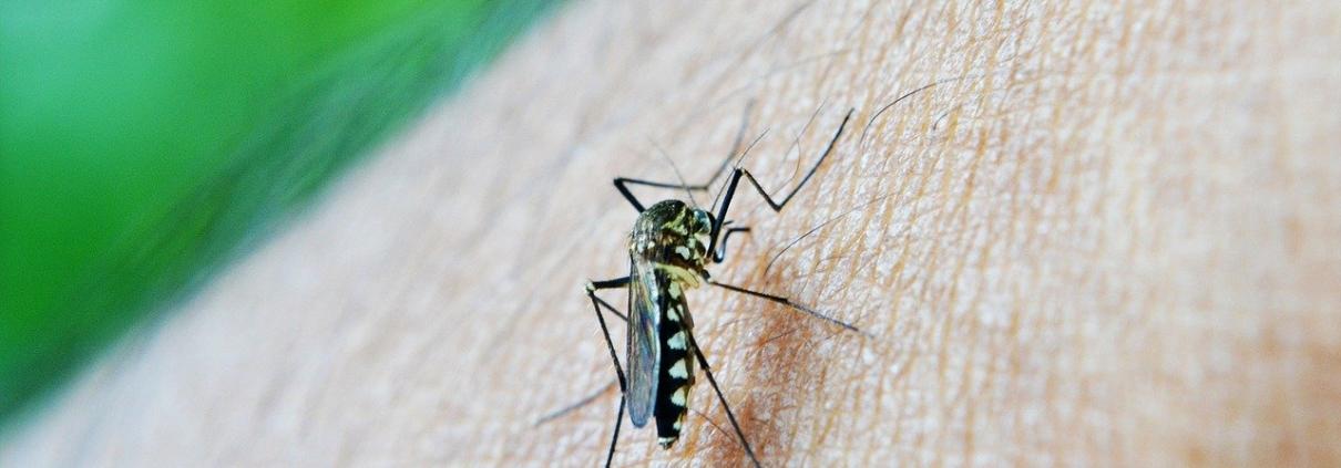 El Mosquito tigre y coronavirus